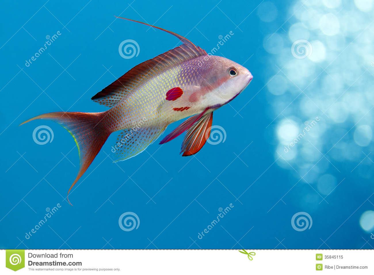 Fish underwater royalty free stock photo image 35845115 for Red saltwater fish