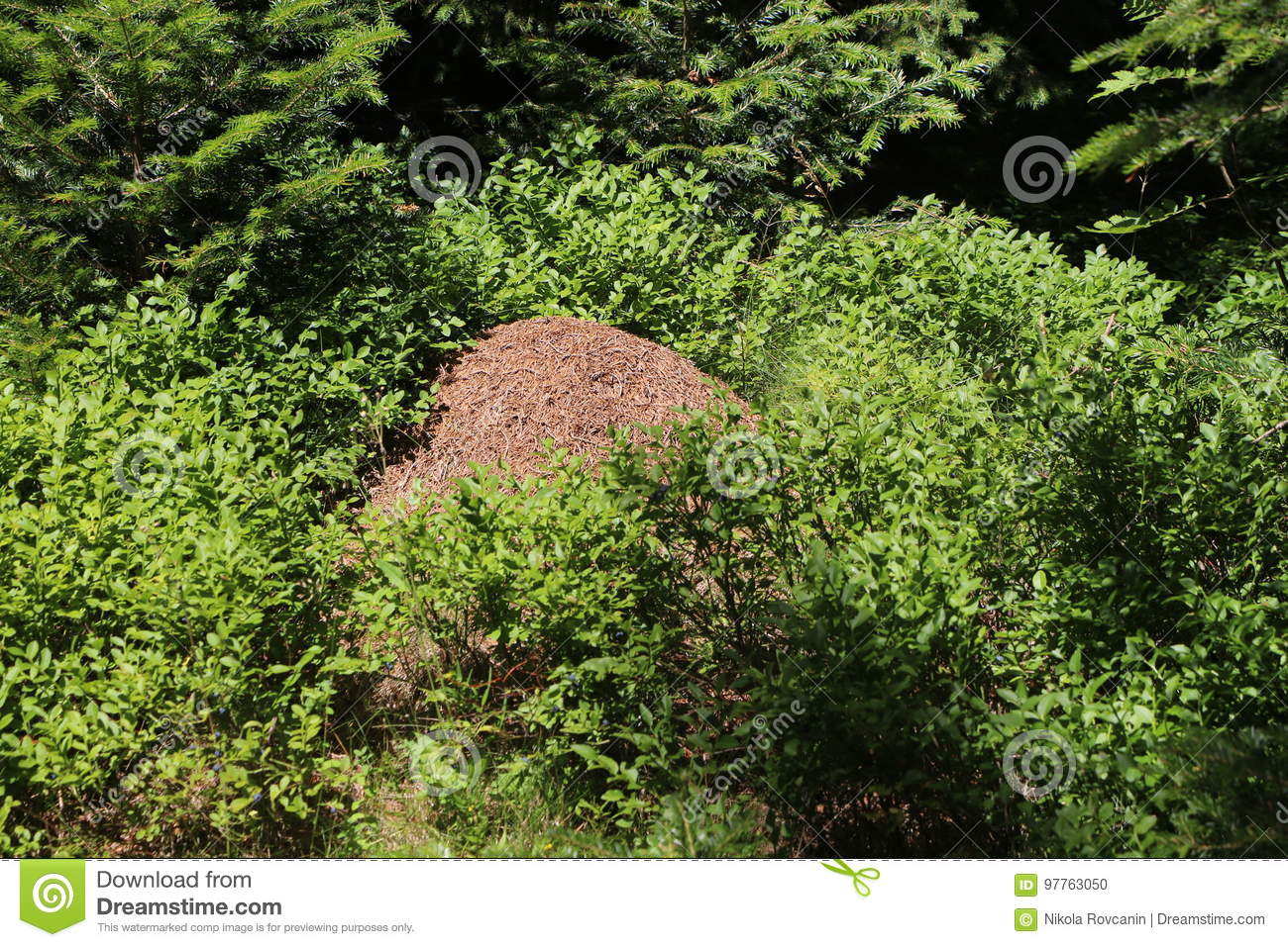 Anthill in in a blueberry bushes