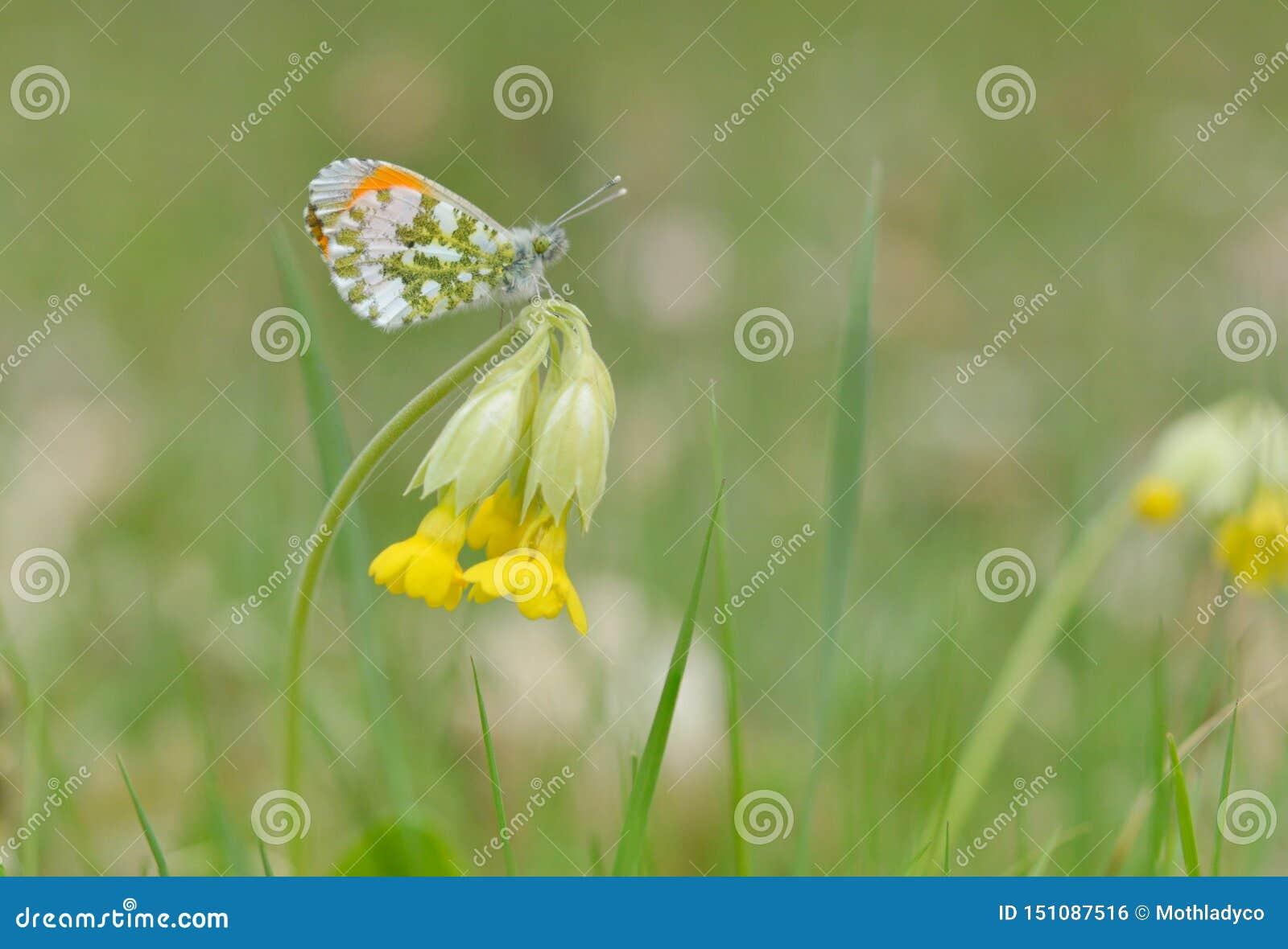 Anthocharis cardamines and Primula