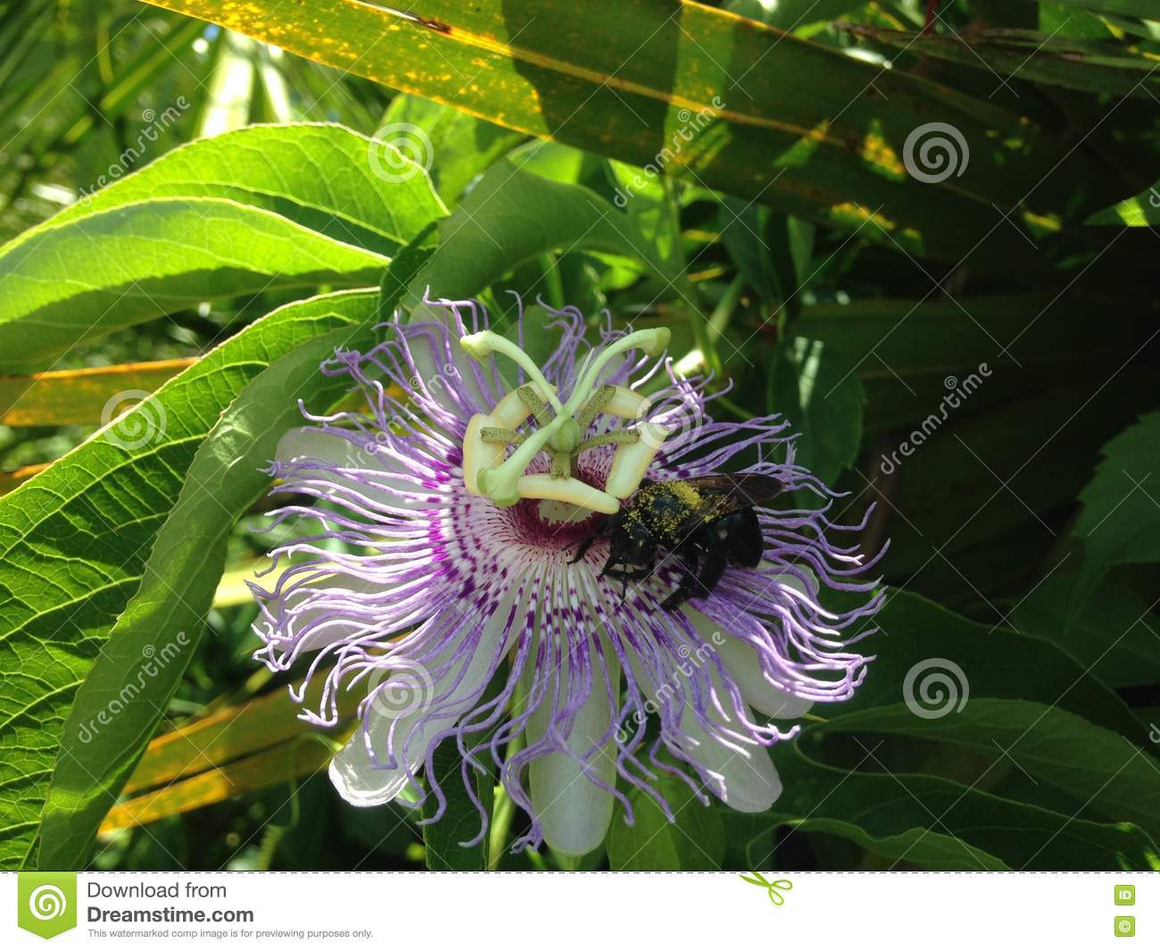 Anthophila (Bee) Sitting on Passiflora (Passion Flower) Plant Flower.