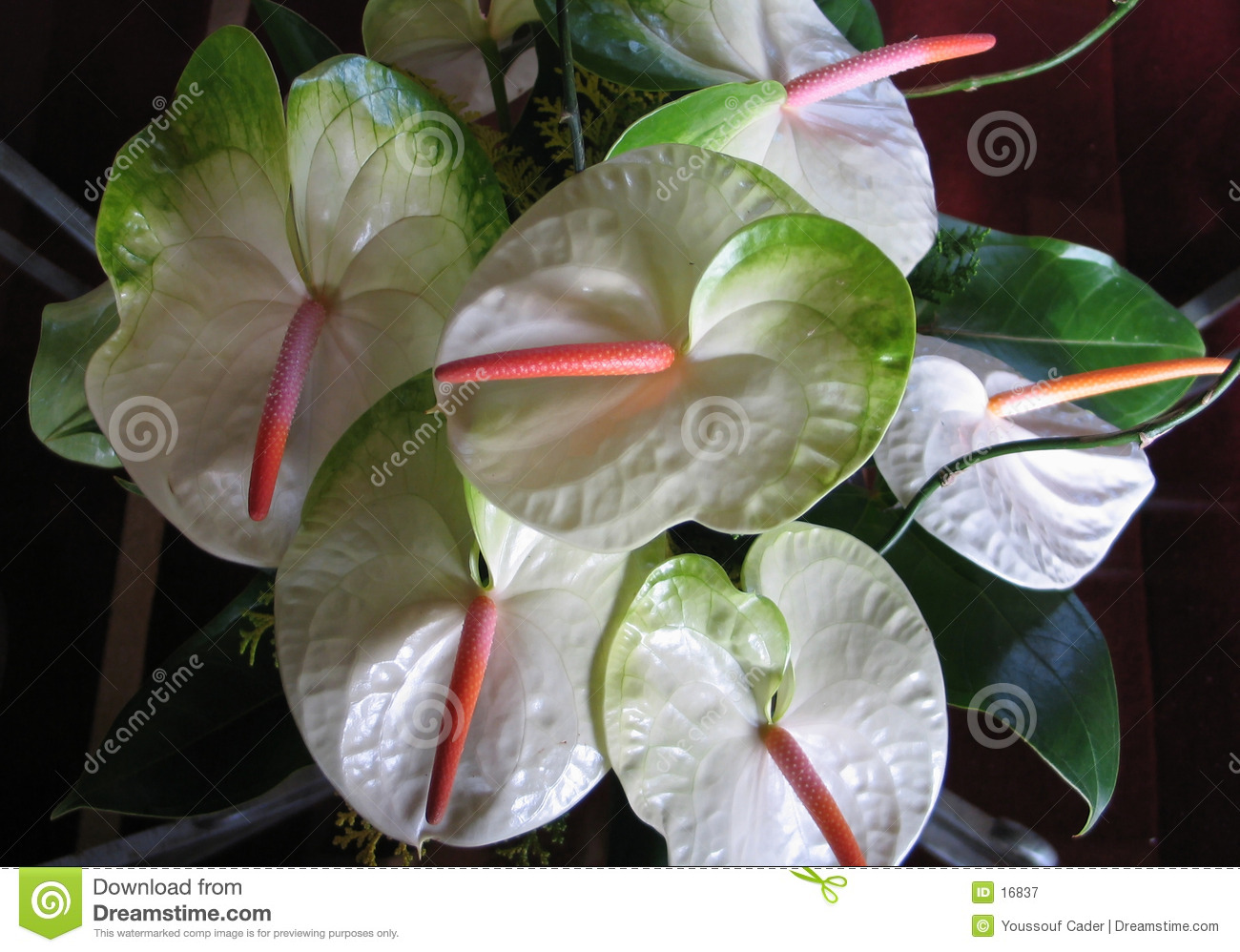 Anthurium Flowers 1
