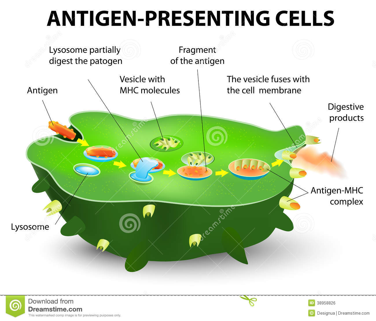 Antigen Presenting Cell Stock Vector Image 38958826