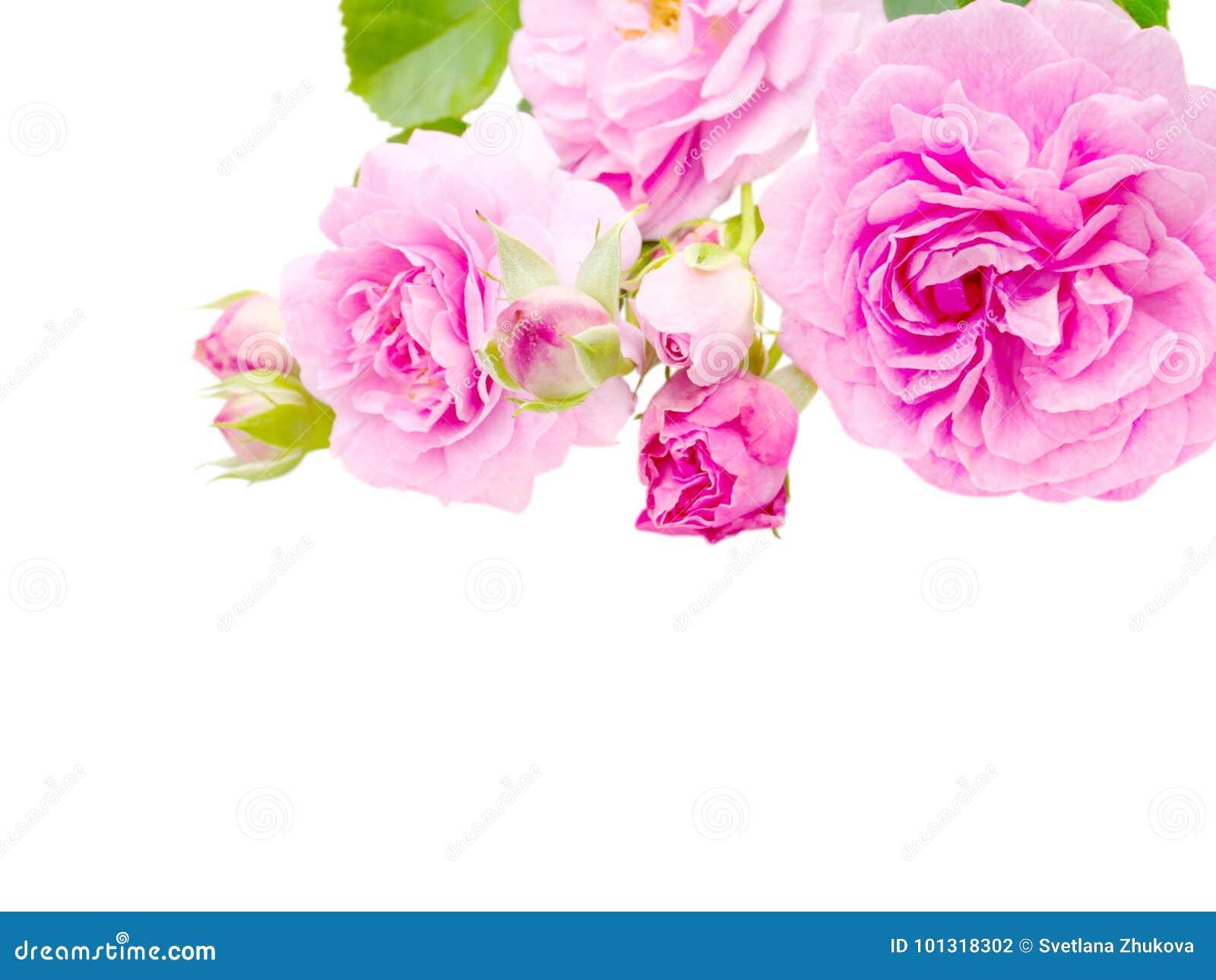 Antika rosa rosor i hörnet som isoleras på vit