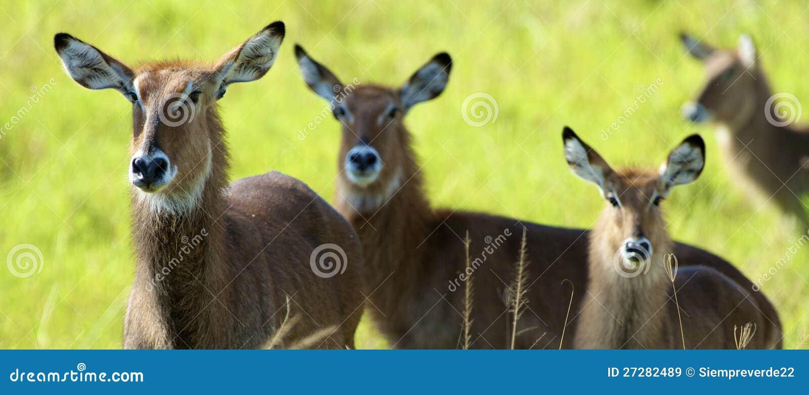 Antilop går tillsammans