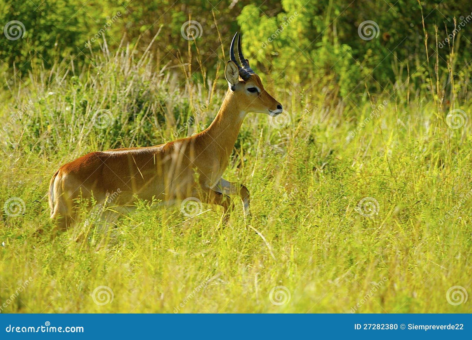 Antilop hoppar i gräset
