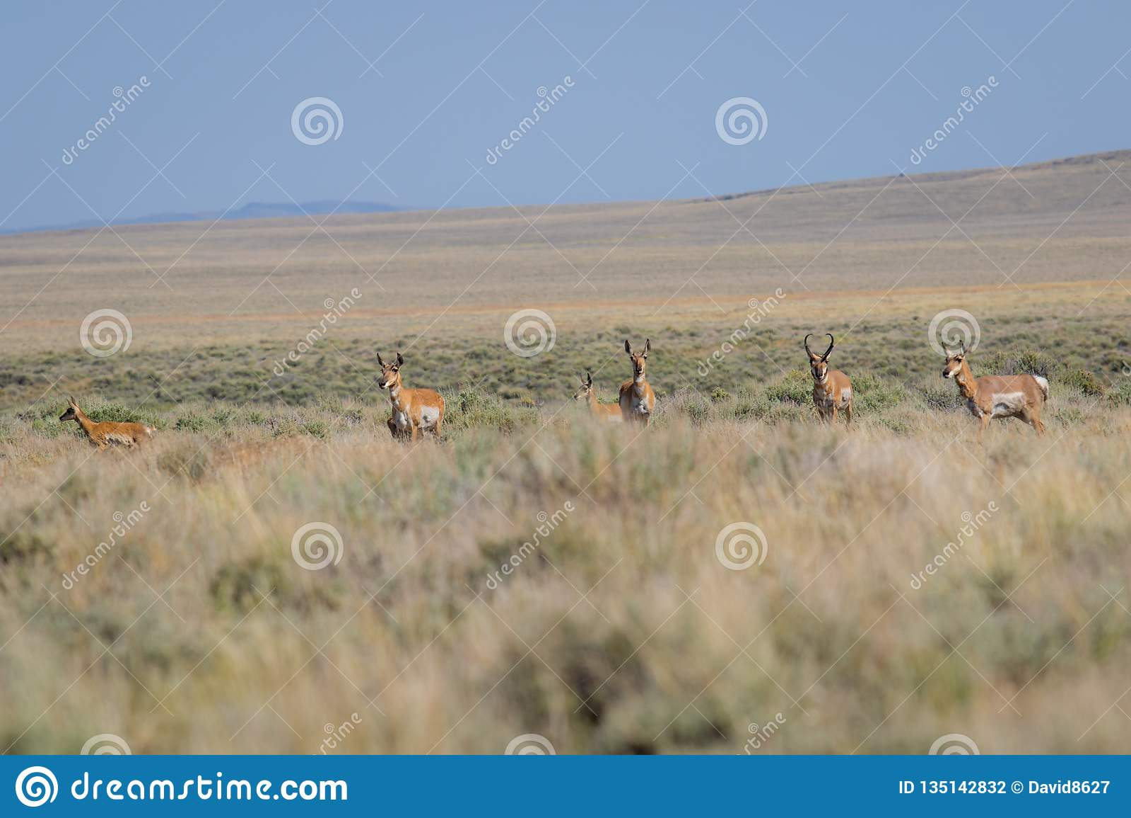 Antilop i öknen