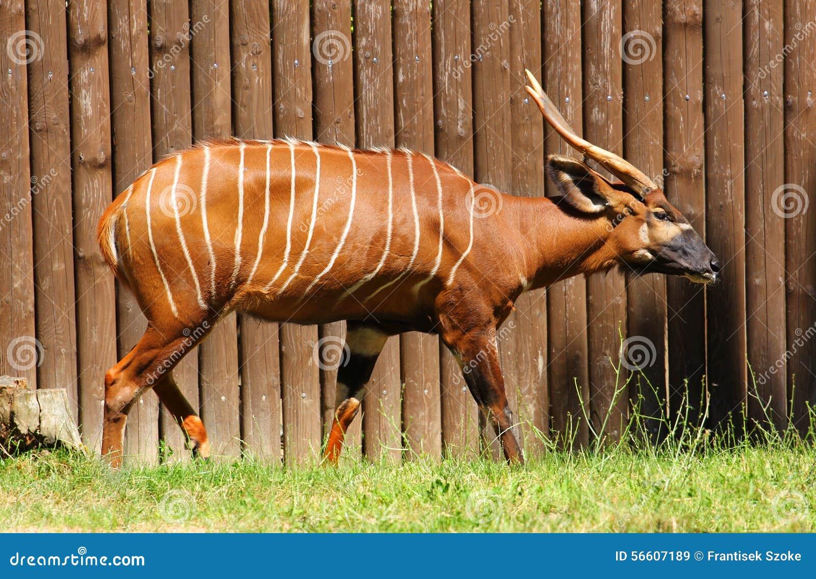 Antilope бонго