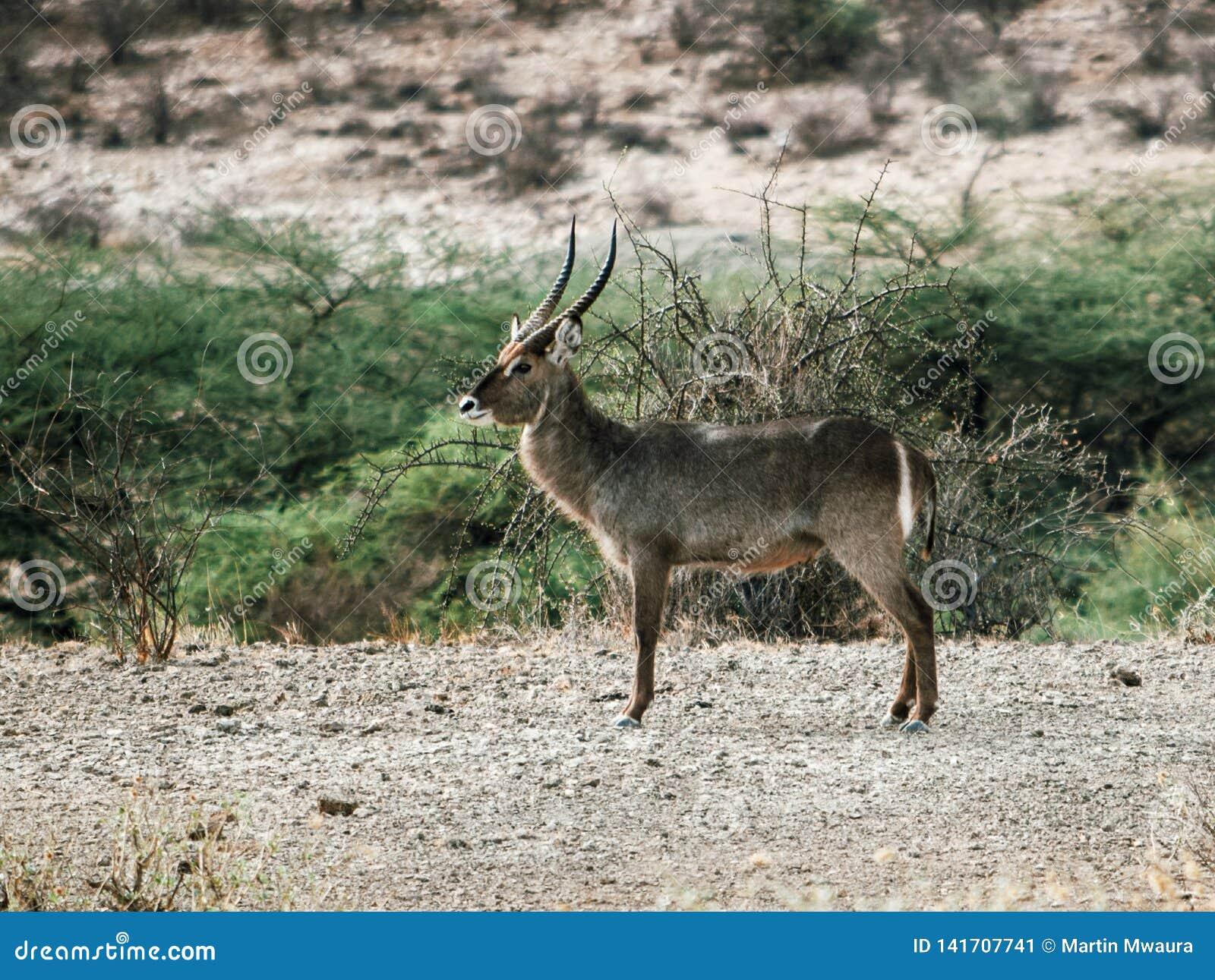 Antilope africaine de Waterbuck chez Samburu