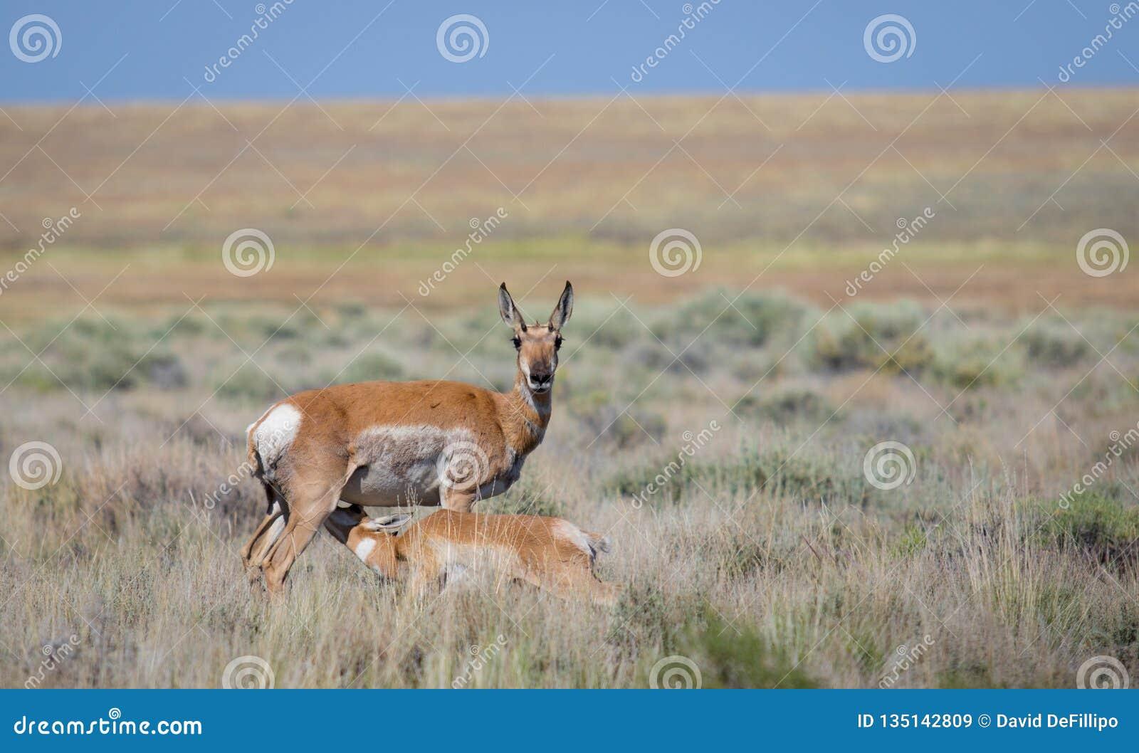 Antilope alimentant son veau