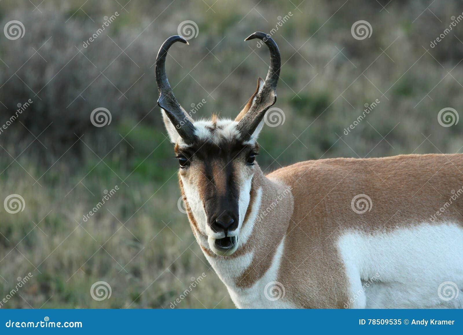 Antilope de Pronghorn au matin
