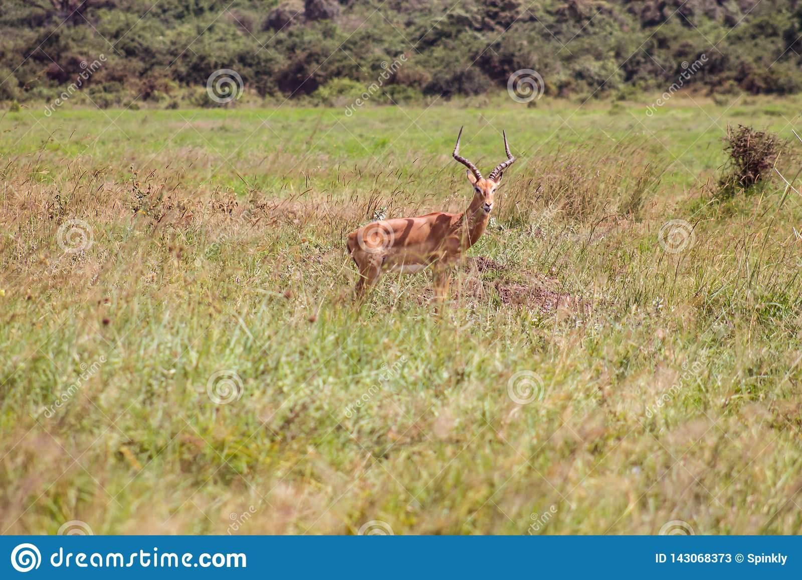Antilope in de wildernis wordt bevlekt die