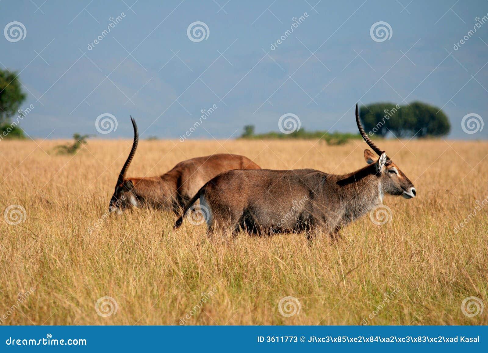 Antilope - Kobus, Ouganda