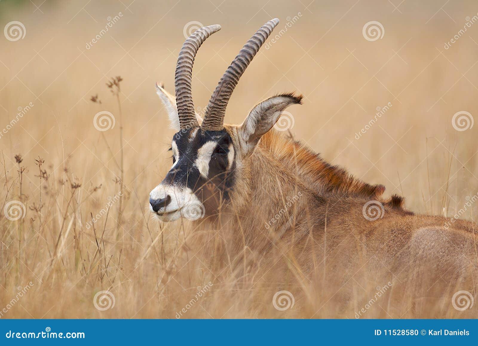 Antilope Roan