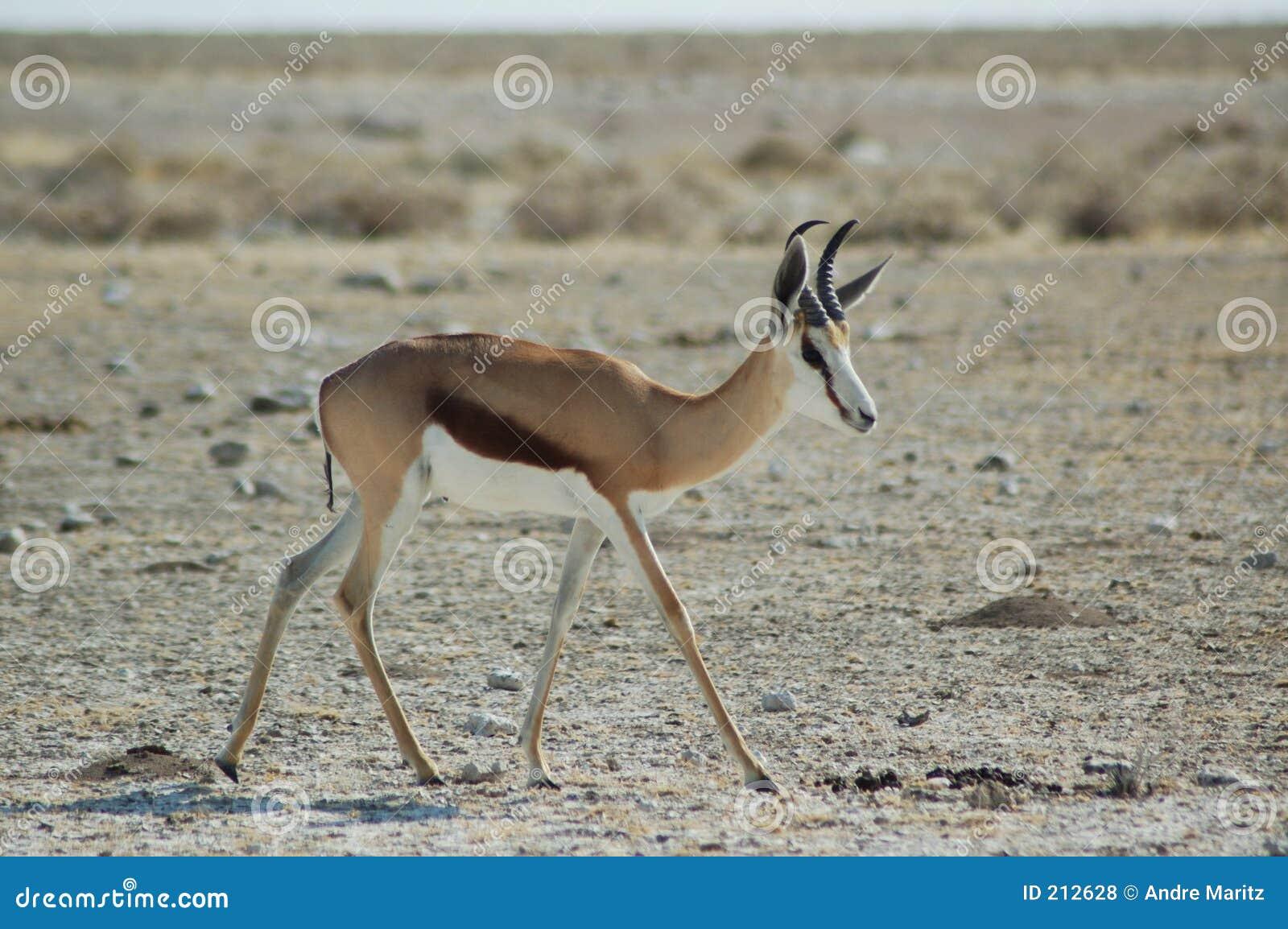 Antilope saltante in Etosha