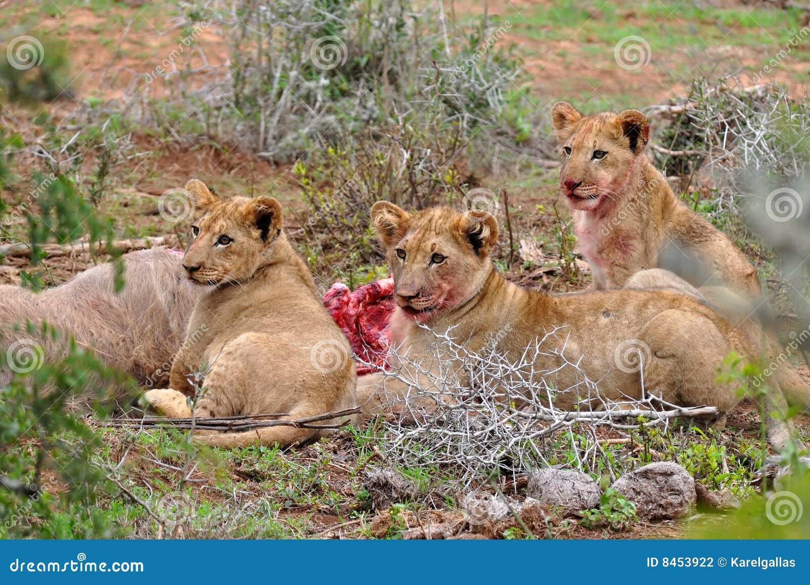 Antilopgröngölingar som äter kudulion tre