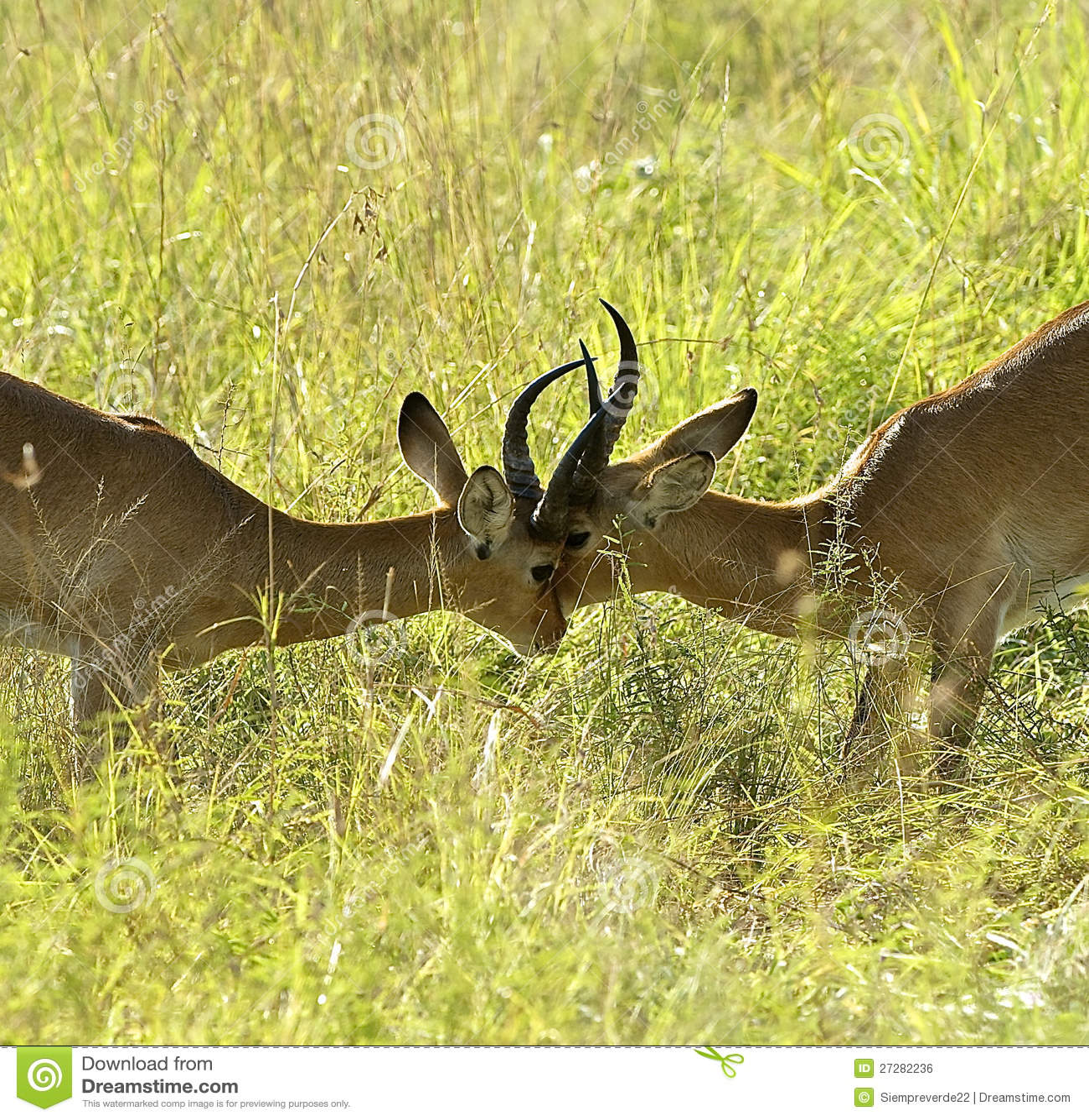 Antilopkamp en mot annan