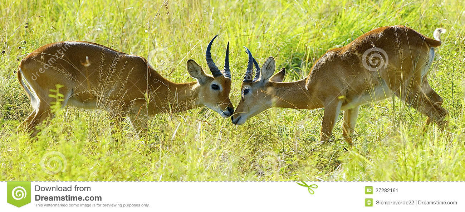 Antilopkamp i fältet