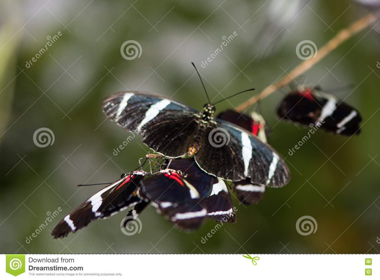 Bộ sưu tập cánh vẩy 4 - Page 46 Antiochus-longwing-butterflies-heliconius-antiochus-mass-central-southern-american-heliconiid-insects-family-79821230