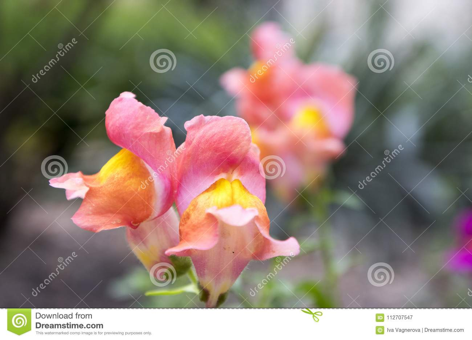 Antirrhinum Majus Common Snapdragon In Bloom Stock Image Image Of