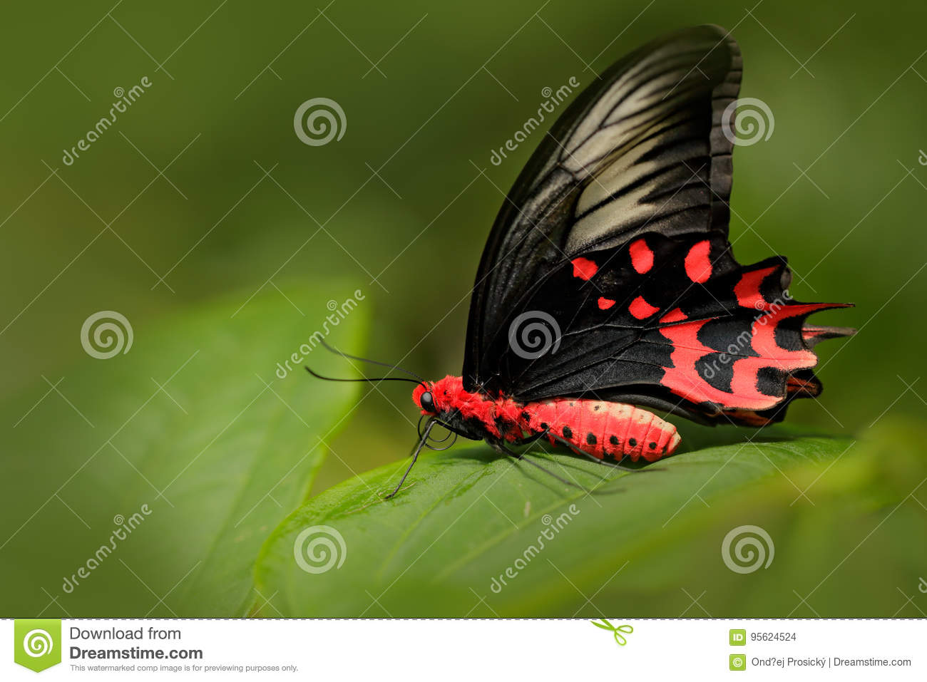 Antrophaneura semperi, in the nature green forest habitat, Malaysia, India. Insect in tropic jungle. Butterfly sitting on the gree