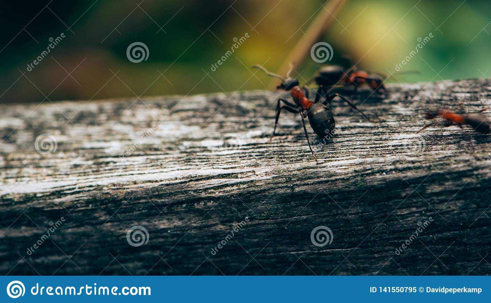 Ants on a fence, Macro photo, Ameland wadden island Holland the Netherlands
