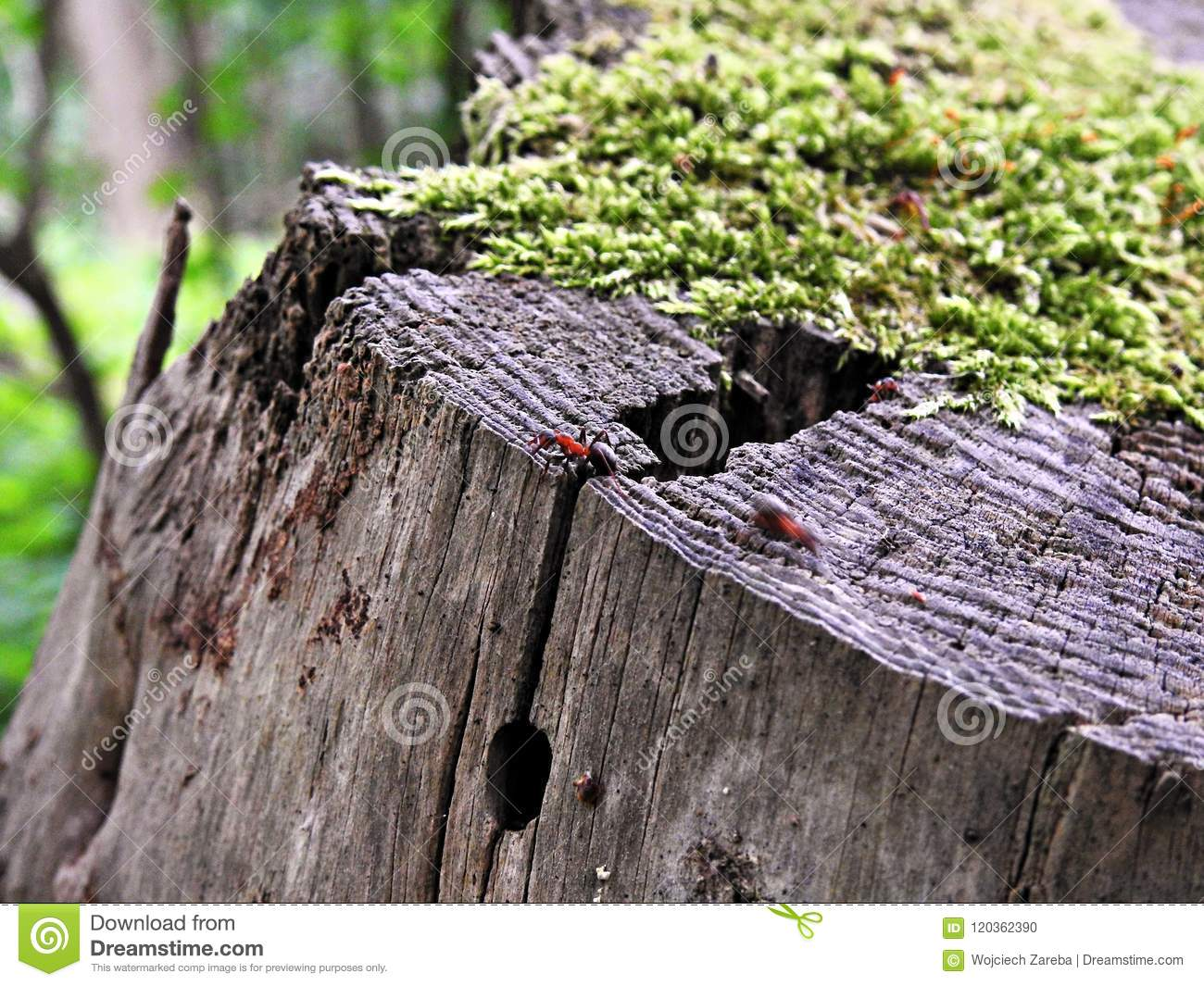 Ant on a moss covered tree trunk