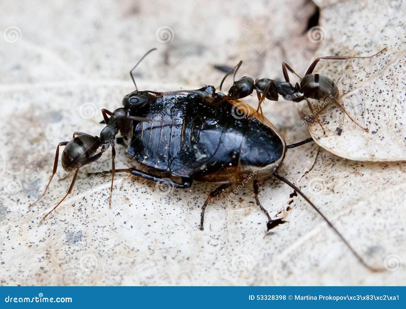 Ants Solenopsis invicta