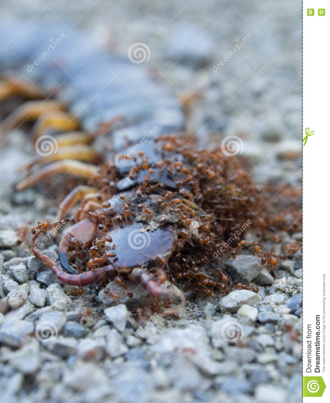 Ants Swarmed By A Large Centipede Bite  Stock Photo - Image