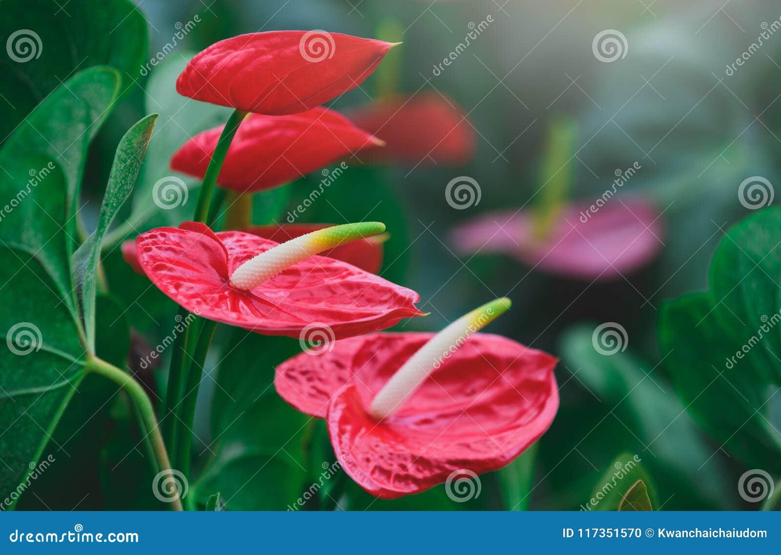 Anturio della treccia o fiore di fenicottero rosso