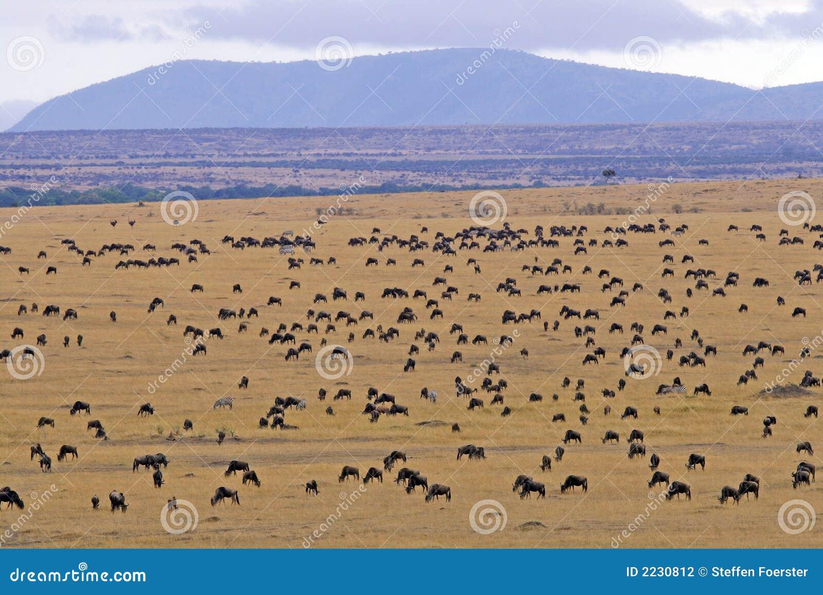 Antylopa migracji