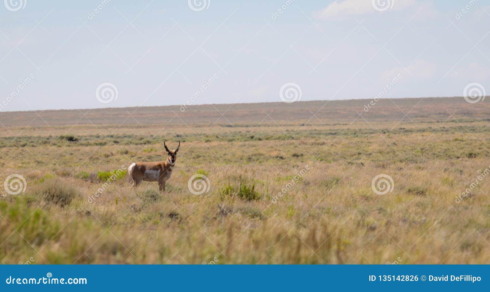 Antylopa w pustyni