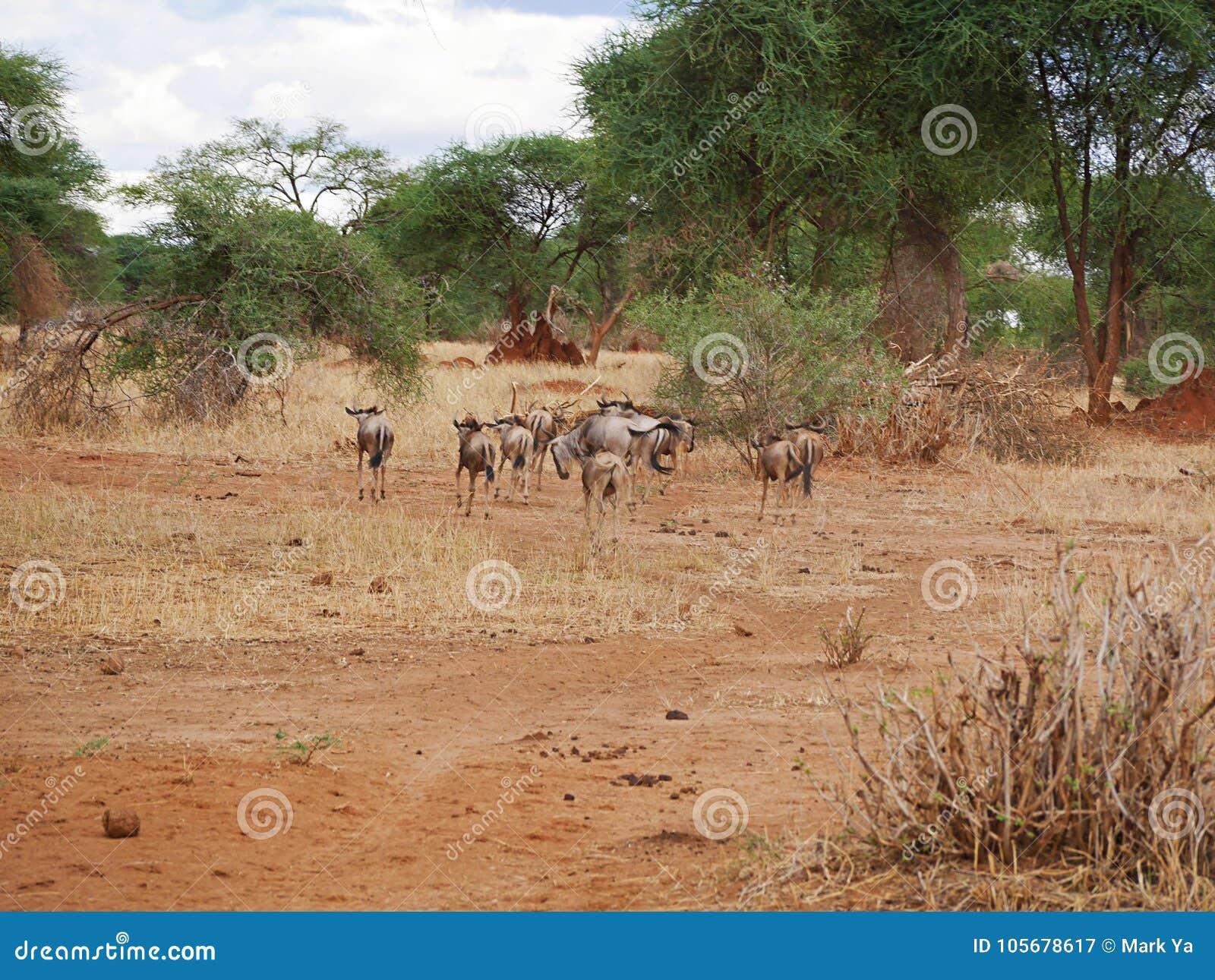 Antylopy wildebeest zakończenie na Tarangiri safari - Ngorongoro