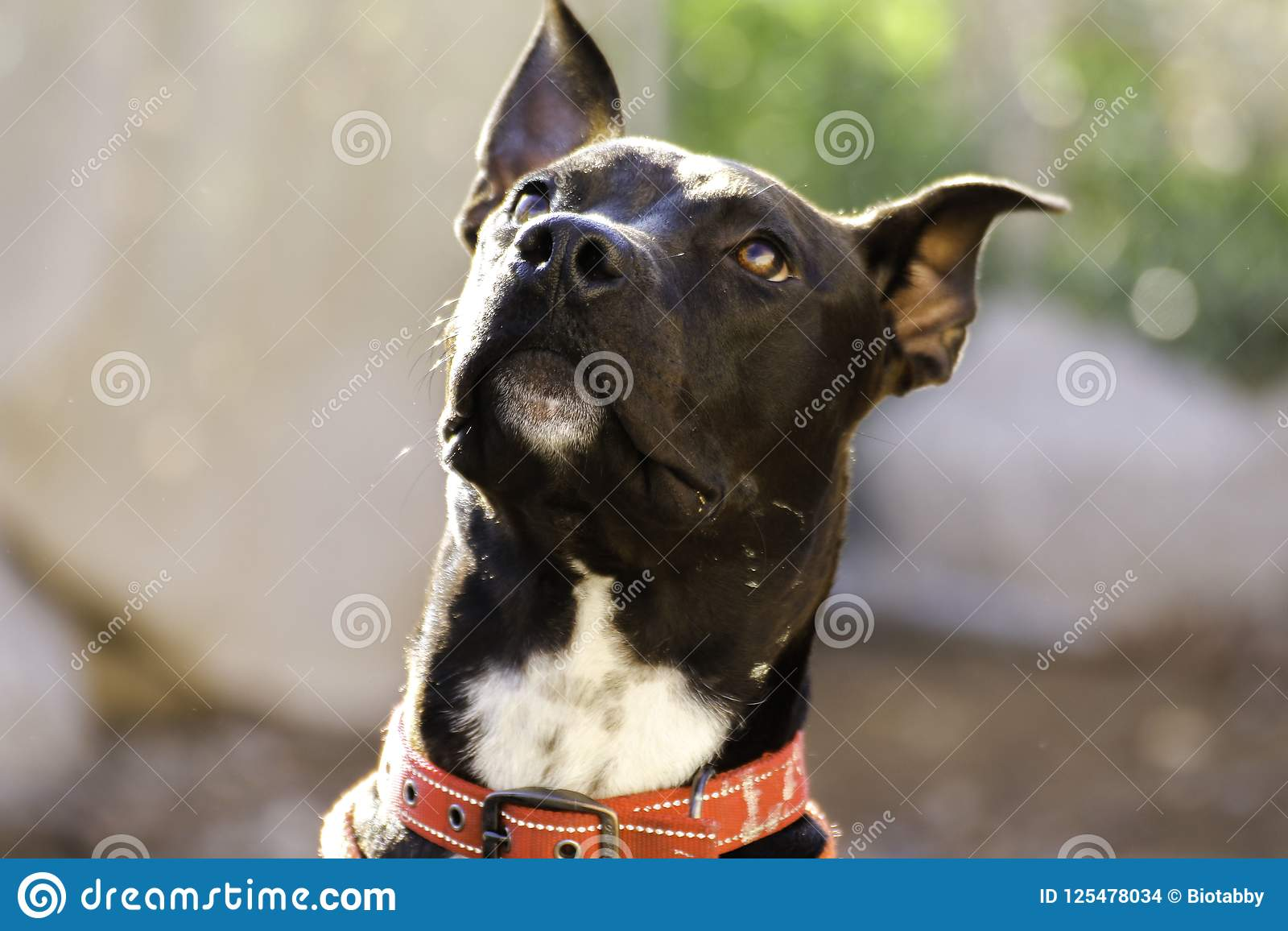 Anubis dog mix stock photo  Image of mutt, rescue, love