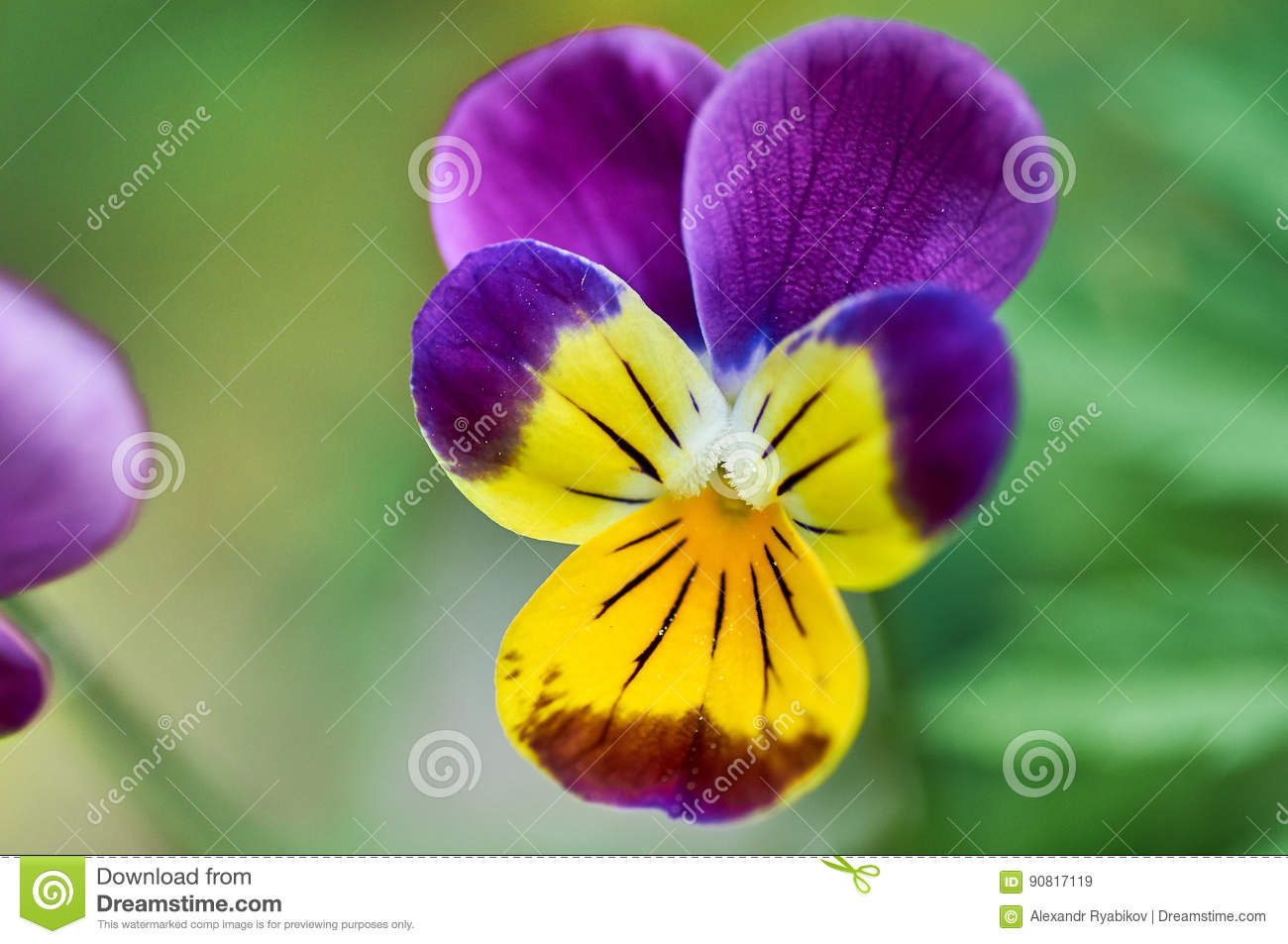 Anuta eyes in the garden violet flower stock image image of download anuta eyes in the garden violet flower stock image image of fresh thecheapjerseys Image collections