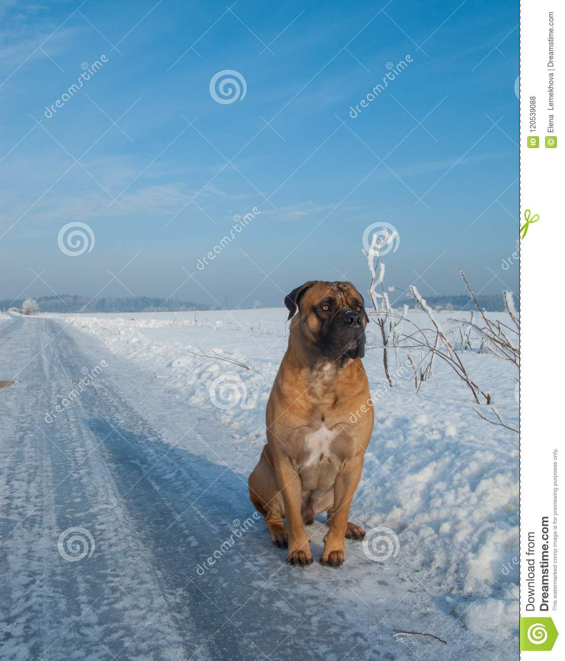 The Air Temperature More Than Twenty Five Degrees Below Zero Closeup Portrait Of Dog Of Rare Breed South African Boerboel South African Mastiff