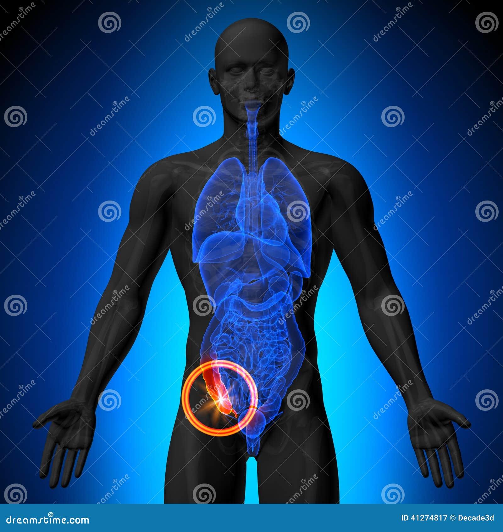 Apéndice - Anatomía Masculina De órganos Humanos - Opinión De La ...
