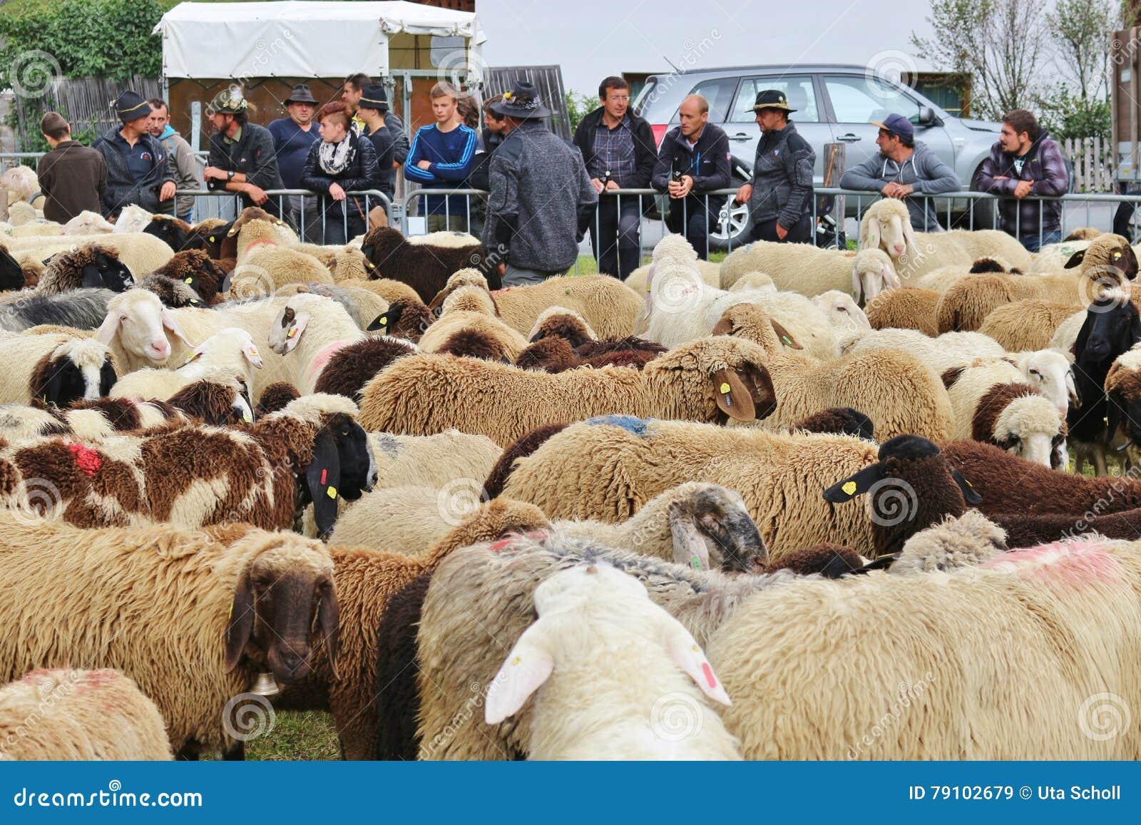 Após a reunião para baixo dos carneiros, Áustria