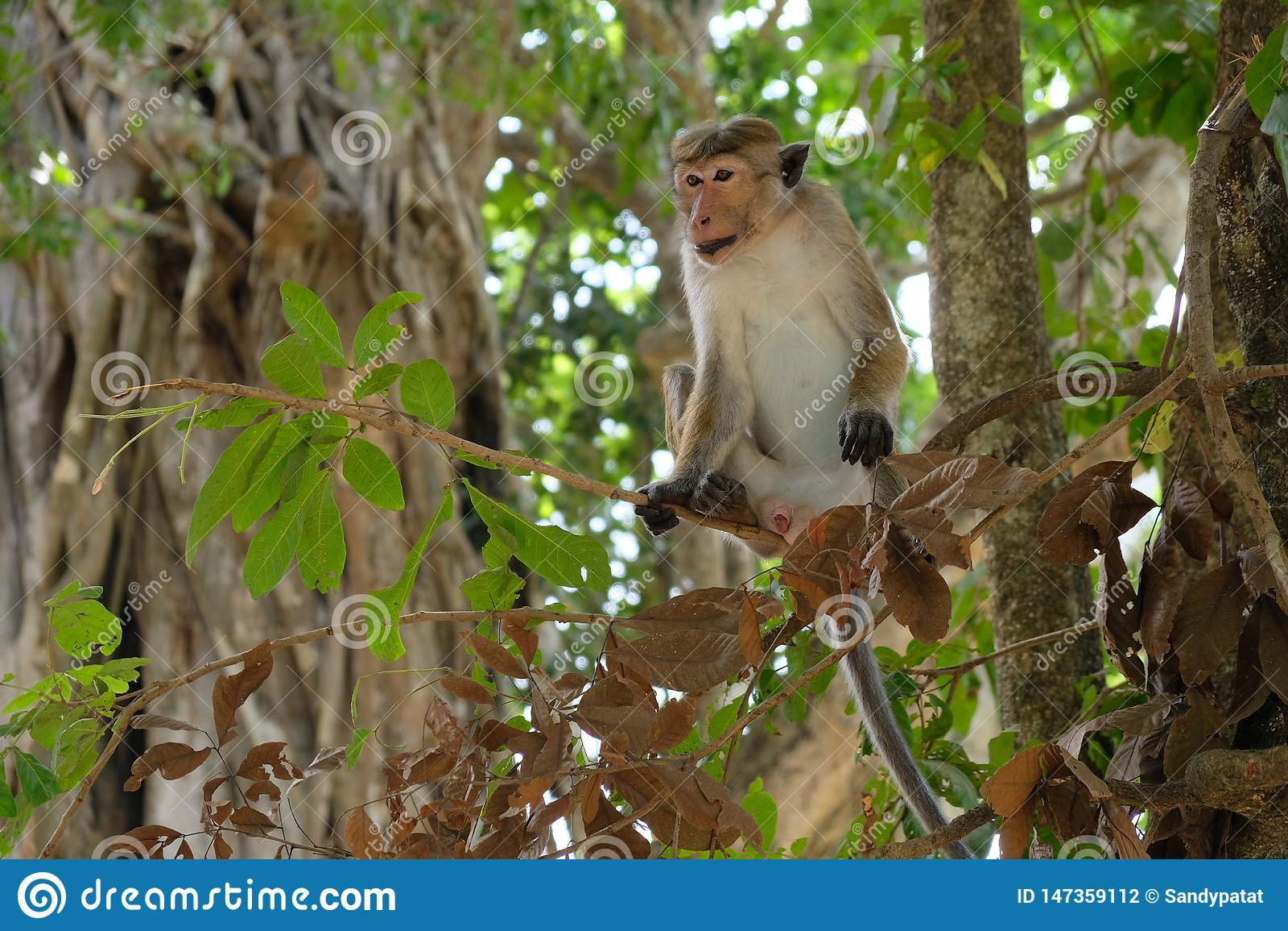 Apa som så är kall i hans träd i djungeln, Sri Lanka, Asien