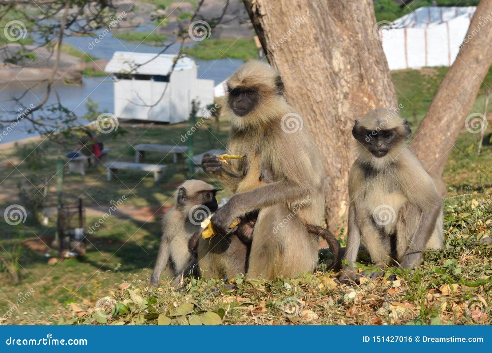 Apafamiljen sitter på en kulle och äter bananer
