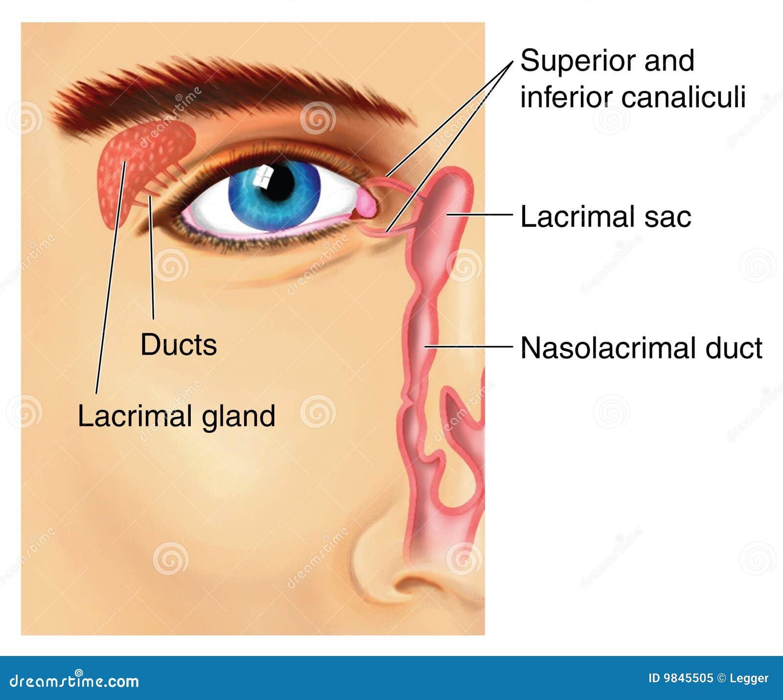 Aparato lacrimal ilustración del vector. Ilustración de glándula ...