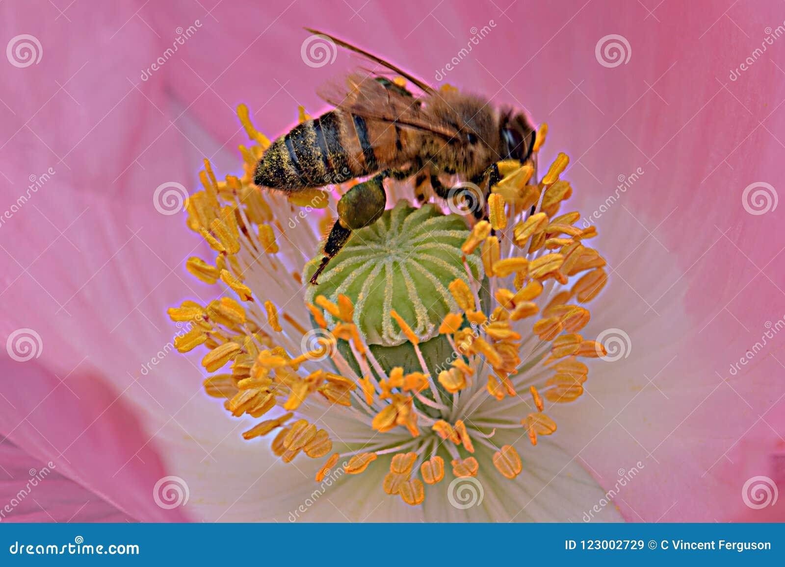Ape in antere gialle Poppy Flower rosa