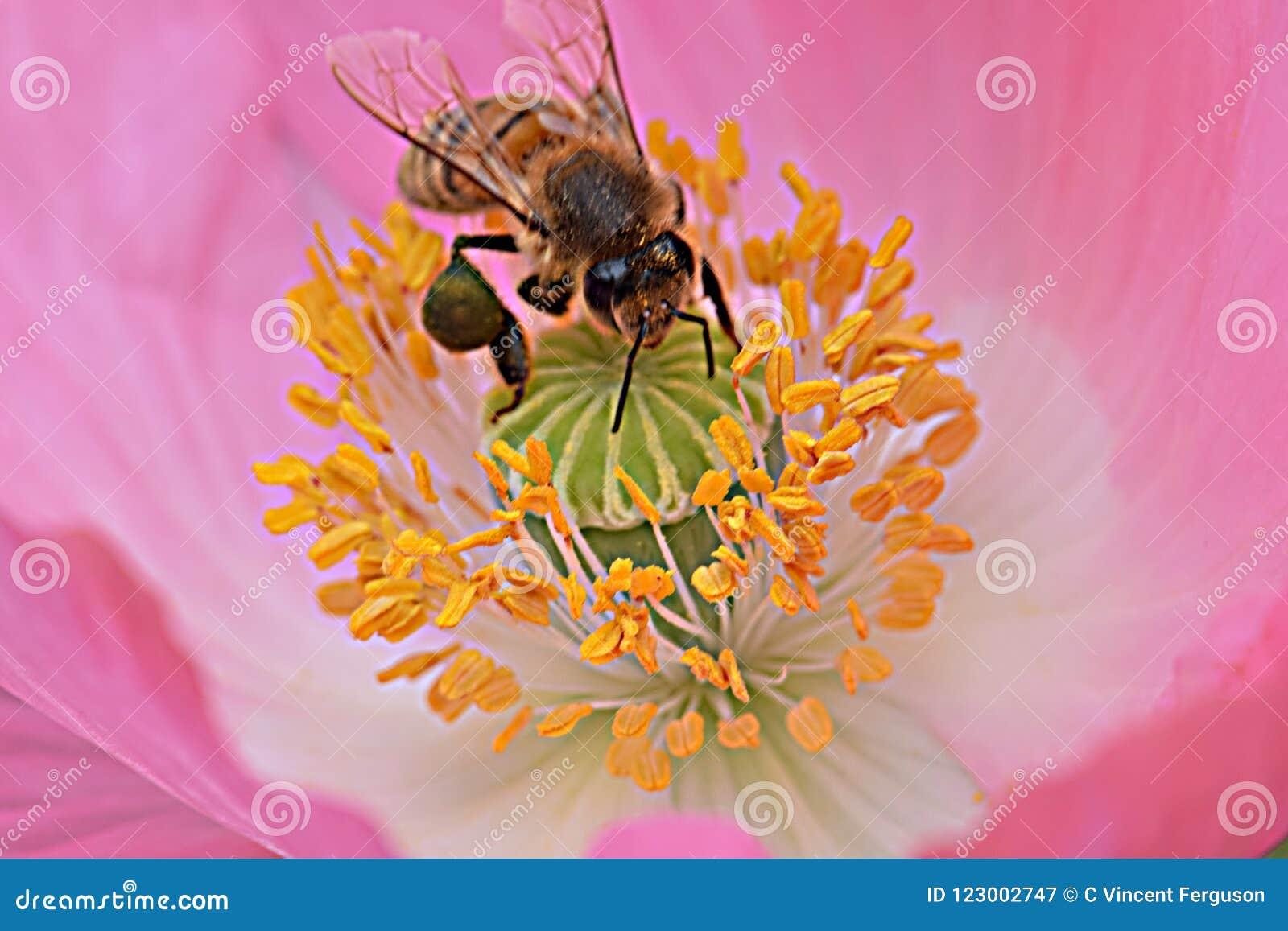 Ape in antere gialle Poppy Flower rosa 02