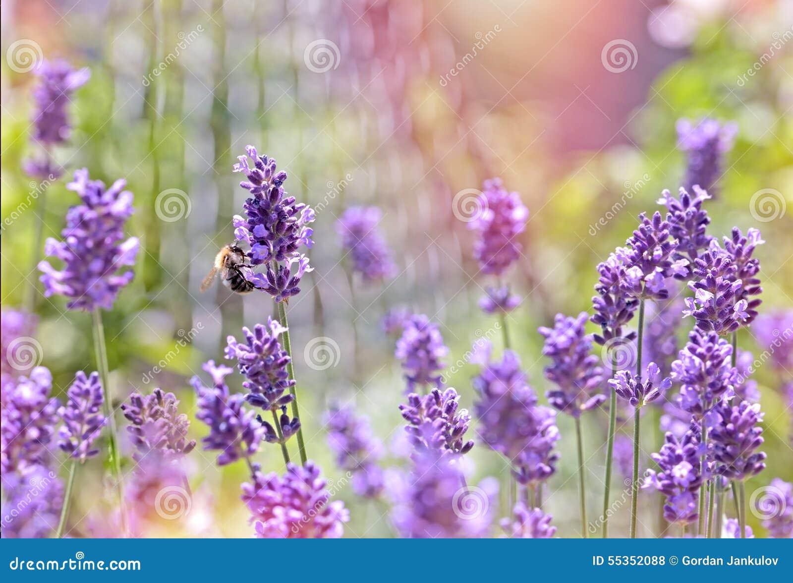 Ape - ape mellifica sul fiore della lavanda