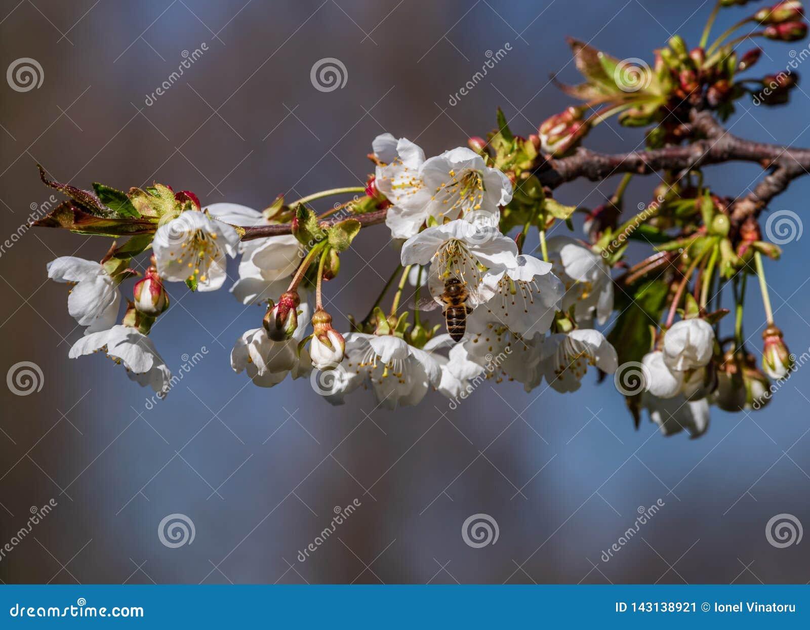 Ape che raccoglie polline da un fiore della prugna un giorno soleggiato