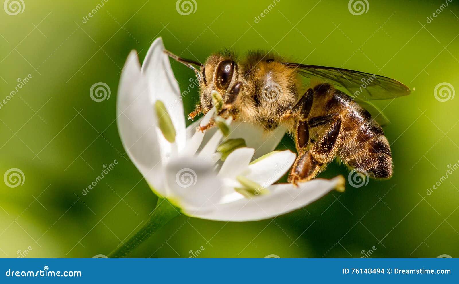 Ape del miele che raccoglie nettare