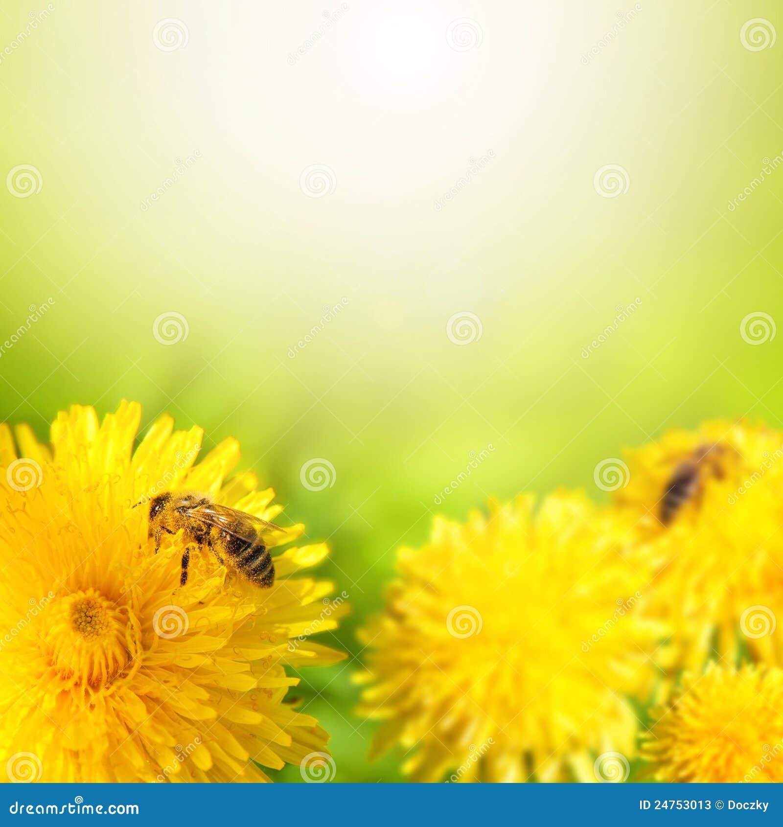 Ape del miele che raccoglie nettare dal fiore del dente di leone.