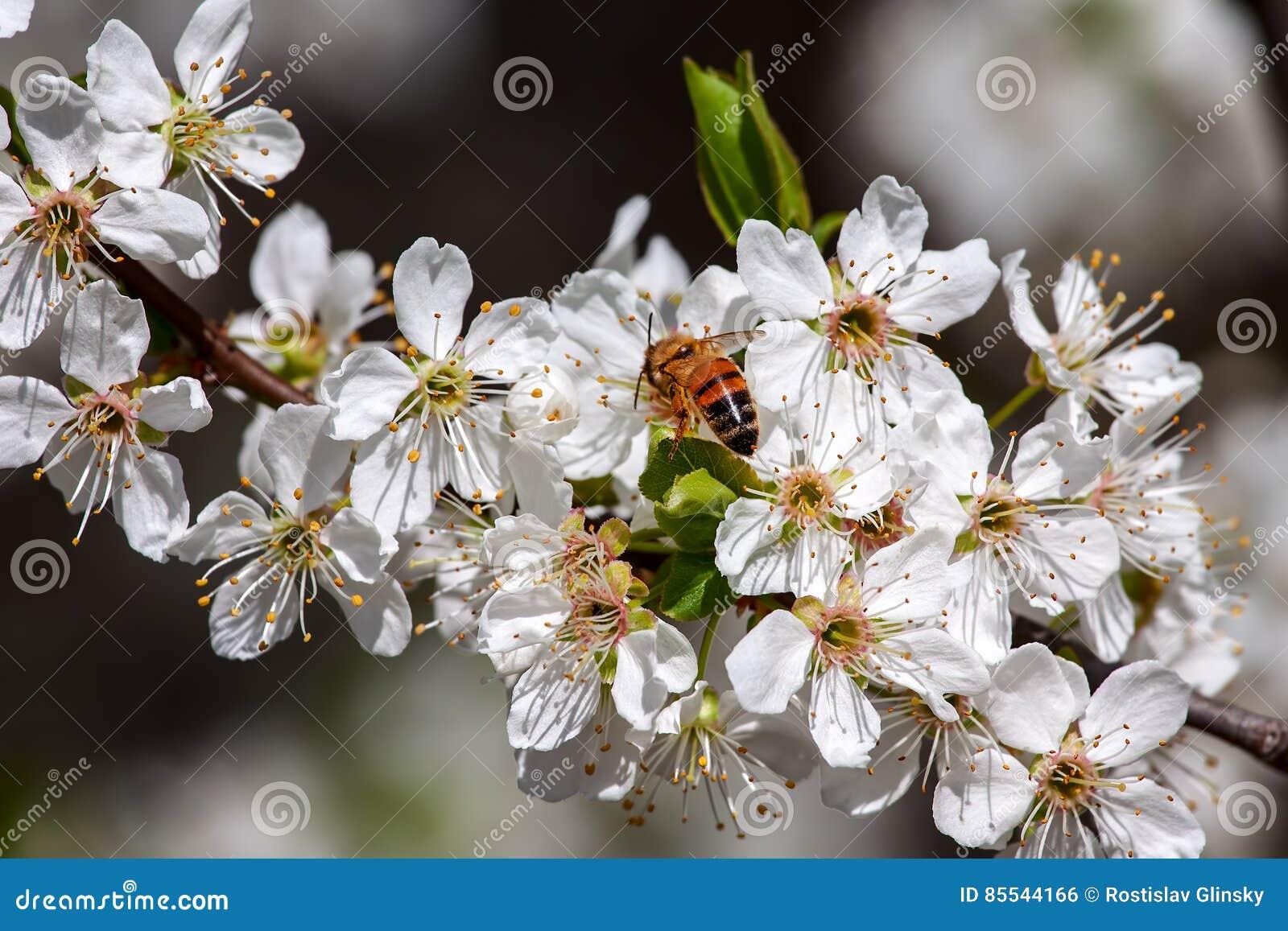 Fiori Bianchi In Primavera.Ape Fra I Fiori Bianchi In Primavera Fotografia Stock Immagine