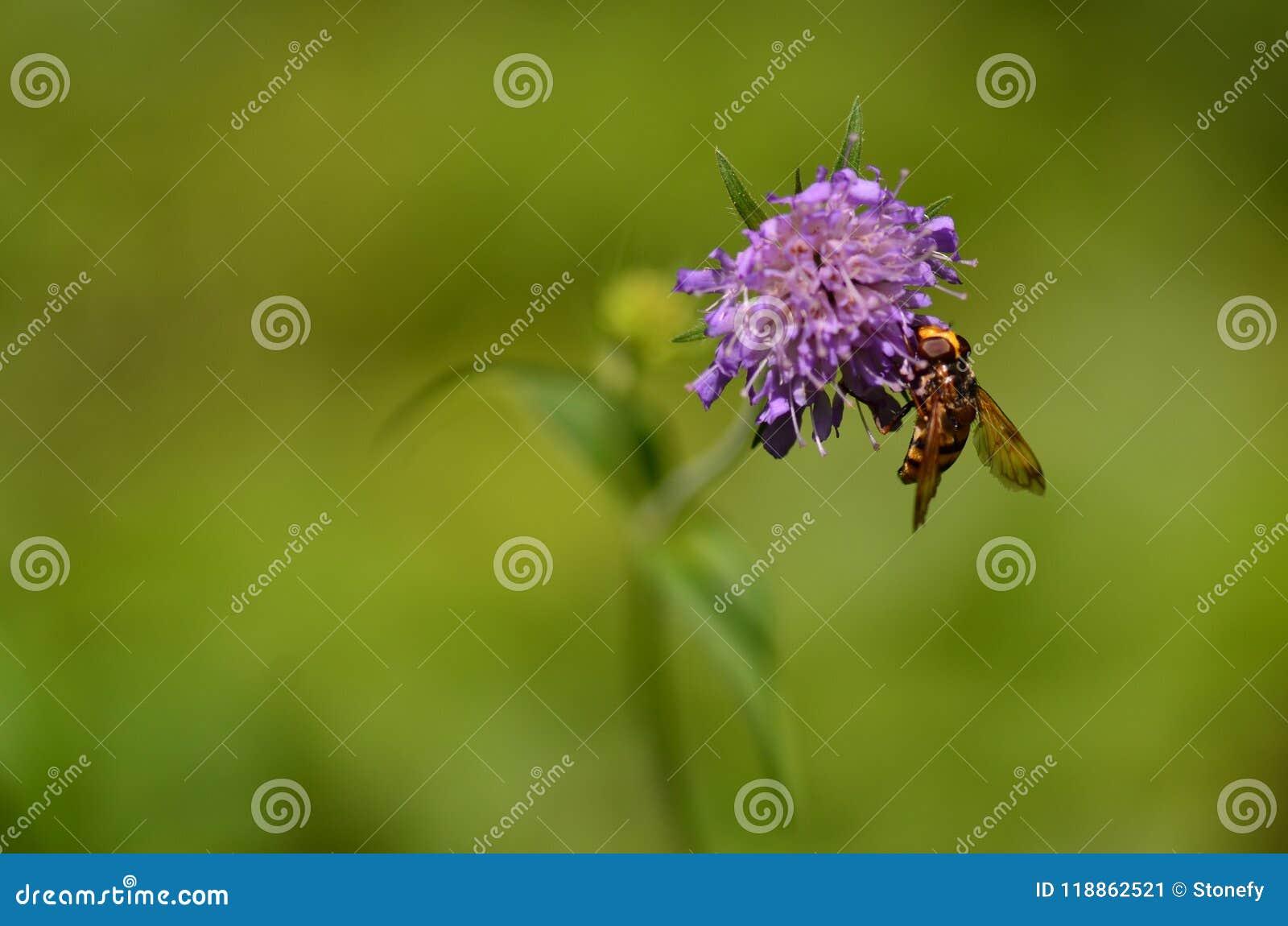 Ape gialla sul fiore porpora