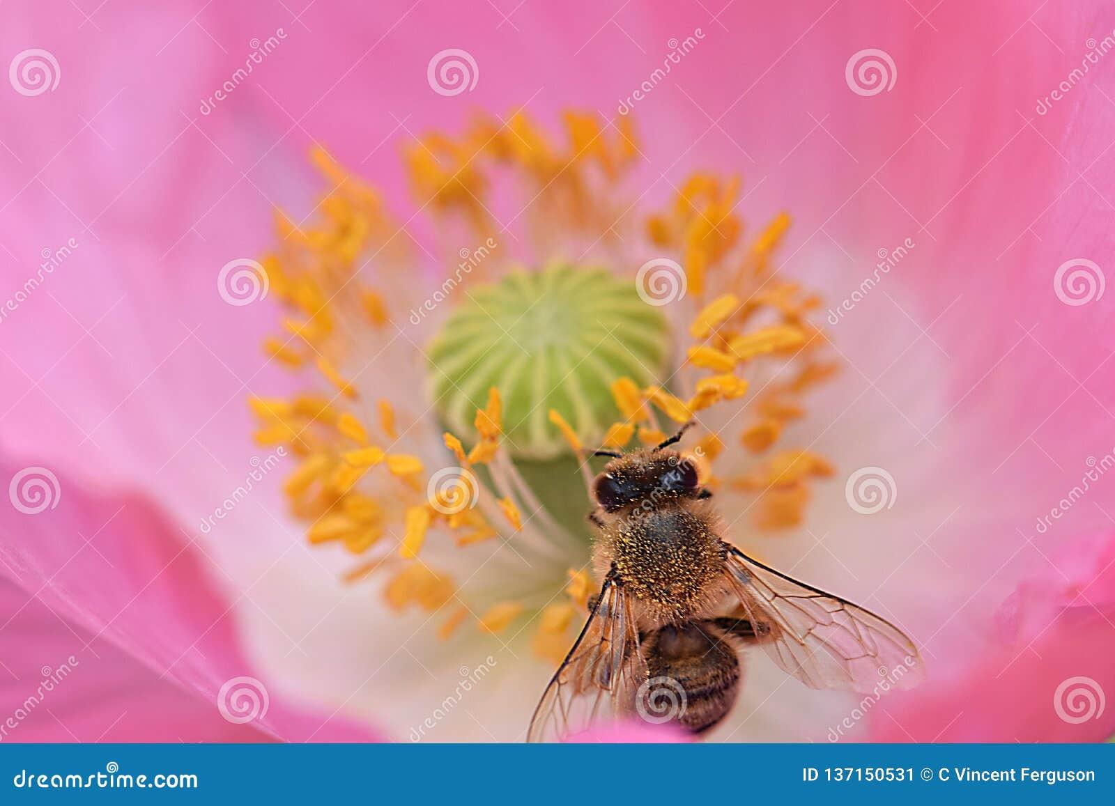 Ape mellifica in antere gialle Poppy Flower 07