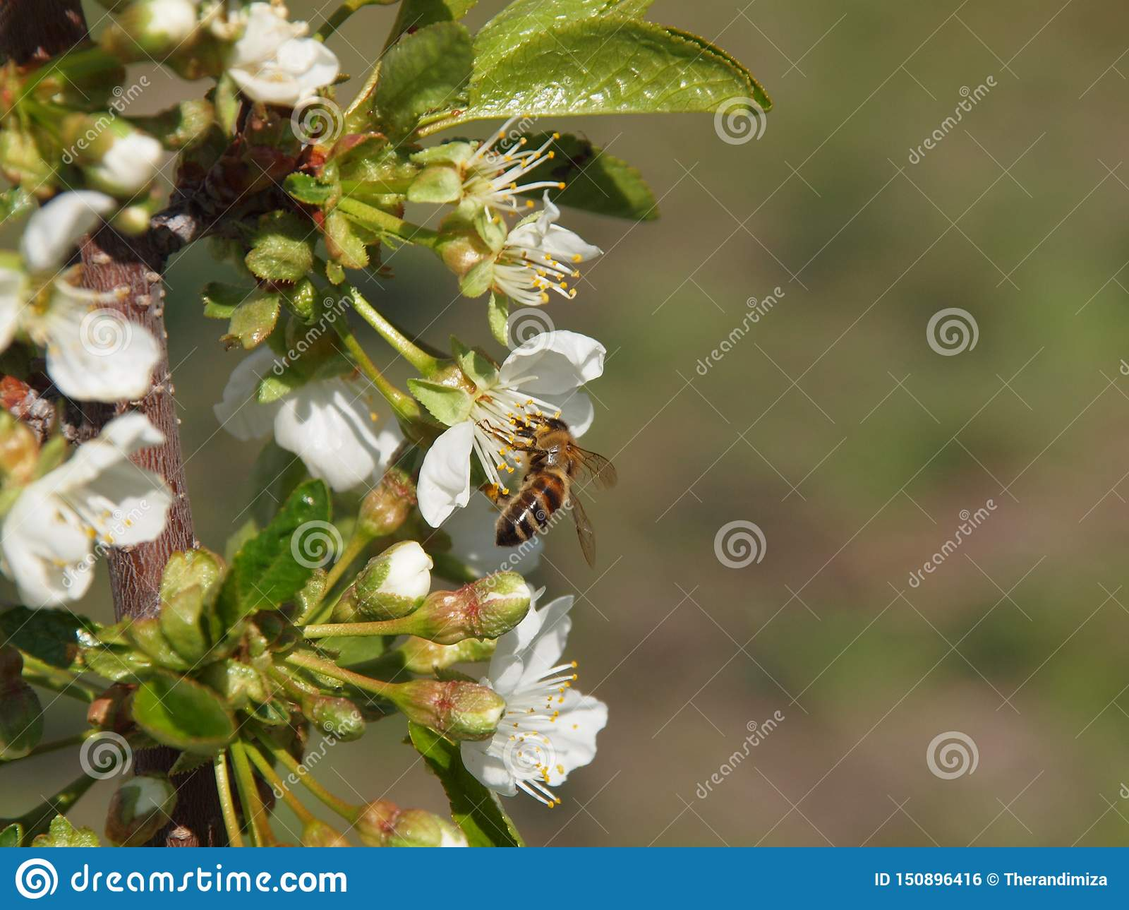 Ape mellifica sul fiore di ciliegia